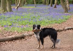 Good Boy in the bluebells (cuppyuppycake) Tags: wanstead park bluebells flowers nature forest woods nikon d7200 dog pet fetch log wood good boy border collie