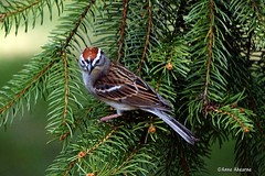 Chipping Sparrow (Anne Ahearne) Tags: sparrow chippingsparrow sprucetree branch bird birds nature wildlife animal