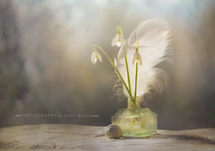 Whispers of Spring (Julia-still away! catching up) Tags: photographybyjuliamartin whitefeather spring 1352 1352feathers–findthemanywhere…ontheground intheair inatreasureboxasignoffreedom…