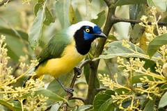 IMG_2700  Green Jay ( Inca Jay ) (ashahmtl) Tags: greenjay incajay jay cyanocoraxyncas baeza napoprovince ecuador