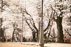 大宮公園の桜 2017 (Norio.NAKAYAMA) Tags: omiya さいたま市 cherry cherryblossom sakura 桜 日本 大宮公園 大宮 japan saitama
