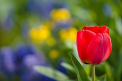 Solo (Karsten Gieselmann) Tags: 75mmf18 blumen blüten bokeh dof em5markii farbe frühling gelb grün jahreszeiten lila mzuiko microfourthirds natur olympus pflanzen private rot schärfentiefe tulpe blossom color flower green kgiesel m43 mft nature purple red seasons spring tulip violett yellow