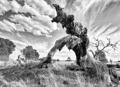 Gnarled 2017-04-07 (5D_32A6669) (ajhaysom) Tags: woodlandshistoricpark woodlandshomestead greenvale melbourne australia canoneos5dmkiii canon1635l leefilters blackandwhite