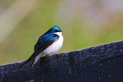 Tree Swallow (Tommy Quarles) Tags: tree swallow anchorage trail jefferson county kentucky canon 7d mark ii bird