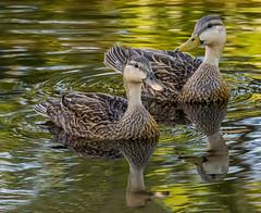 Male and female Mottled Ducks - Anas fulgivula- Wakodahatchee Wetlands, Delray, Florida. (pedro lastra) Tags: winner alt
