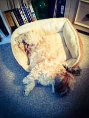 Now THAT's what I call comfortable! (PEEJ0E) Tags: rusty dog bed sleeping comfortable cozy comfy maltese rescue pet friend best