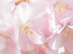 Kirschblüte (dieKolti) Tags: 2017 kirschblüte stadtpark zierkirschen