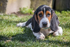 IMG_8303 (BFDfoster_dad) Tags: basset hound puppy