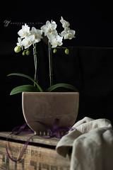 100/365 (shoot-it-now-Nadeen) Tags: nadeenflynnphotography orchid linen stilllife woodenbox