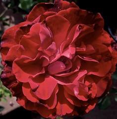 redrose rosadonjuan climbingrose redflower... (Photo: Chic Bee on Flickr)