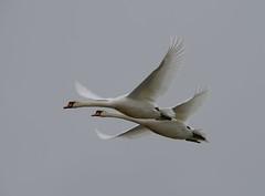 Mute Swans, Tofta Kile (hkkbs) Tags: nikond800 tamronspaf150600mmf563divcusd knölsvan svan muteswan fågel bird fåglar birds toftakile kungälv bohuslän västkusten westcoast sverige sweden