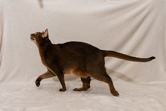 Leia vs Da Bird (MorboKat) Tags: cat cats action abyssinian abyssiniancat femaleabyssinian femalecat domesticcat purebred purebreed purebredcat ruddyabyssinian ruddy usualabyssinian usual feliscatus felissilvestriscatus felis felidae carnivore carnivora mammal mammalia animal animalia feline toy play dabird dabirdcattoy