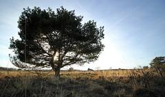 Gortel - Gortelsche Berg (merijnloeve) Tags: gortel gortelsche berg grove den pinus veluwe gelderland sunlight sun zon zonlicht tegenlicht backlight lights spring lente nature natuur