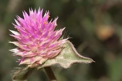 Gomphrena serrata L. (carlos mancilla) Tags: amorseco amordesoltero madroño gomphrenaserratal flores flowers planta canoneos700d canoneosrebelt5i ef100mmf28macrousm