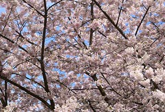 Cherry Blossoms (careth@2012) Tags: blossoms spring nature petals branches cherryblossoms