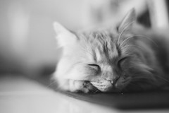 午睡 (ChCh Chen) Tags: cat cats kitten kitty bw life lifestyle vsco sony 50mm sonya7 zeiss csonnar