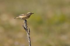 tarier des prés (frederic.laroche6) Tags: tarier oiseau bird coussouls de crau provence nikon d7100 nikkor 200 500 f56 14 animalier exterieur