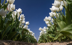 Tulips in Holland (Wim Boon (wimzilver)) Tags: tulips tulpen canonef1635mmf4lisusm canon7d holland nederland netherlands pov spring lente leelandscapepolariser