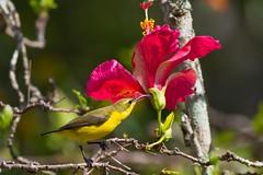 Olive-backed Sunbird (female) (petefeats) Tags: australia bellpark birds emupark nature nectariniajugularis nectariniidae olivebackedsunbird passeriformes queensland female