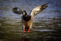 duck landing (stevehimages) Tags: duck mallard essington lake steve steveh stevehimages higgins wowzers warden west midlands grandpas grandpasden den 2017 landing