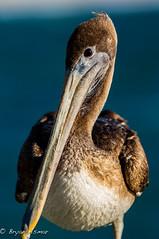 Pelican @ Santa Monica 2012 (bryanasmar) Tags: ngc pelican nikon 300mm 300 28 vr santamonica santa monica pier 2012
