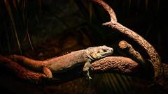 Iguana (Daniel Caridade) Tags: iguana animals animal zoo wildlife lizard wild reptile gaia santo selvagem lagarto portugal réptil inácio