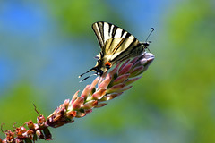 Podalirio (luporosso) Tags: natura nature naturaleza naturalmente nikon naturaincontaminata nikkor70300vr nikond500 nikonitalia nikonclubit imdifferent farfalla butterfly mariposa papillon insect insetto