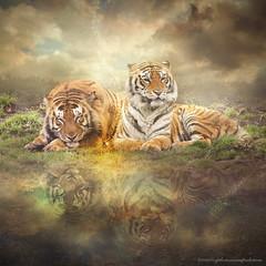 couple (evenliu photography) Tags: surreal tiger love over dream dreamscape imagine evenliu reflection lake water heaven digital digitalart photomanipulation photoshop photoedit