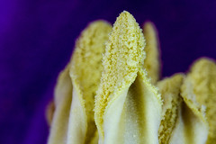tulip stamp II (Danyel B. Photography) Tags: tulip stamp tulpe stempel pollen blüte blossom flower blume petal blatt nature green bokeh natur close nah makro macro extreme 21