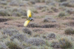 Yal Austral (ik_kil) Tags: yalaustral whitebridledfinch melanoderamelanodera parquenacionalpaliaike regióndemagallanes paliaike pampa birds avesdechile chile