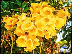 Cores da natureza. #flores #flowers #florzinha #florzinhalinda #naturalbeauty #natureza #naturephotography #jardim #floreslindas #floramarela #revistaxapury #eunotg #criacaodedeus #obradivina #instaflowers #instaflores #motox2 #instamotox2 #garden #floric (ederrabello2014) Tags: instagramapp square squareformat iphoneography uploaded:by=instagram lofi