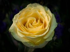 Lemon folds!! (Good Nature One) Tags: lemonfolds flower macro nature bloom rose lemon green purple
