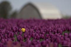 Hello Spring (shimmeringenergy) Tags: mtvernon tulips skagitvalley washingtonstate
