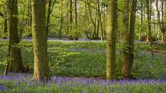 Lawton Wood (teamyam) Tags: bluebellwood woods lawtonwood earlymorninglight bluebells