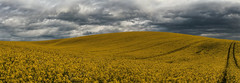 Rapeseed fields then did ignite (sagesolar) Tags: rapeseed rapeseedcrop rapeseedfield hill crops curvy landscape westsussex yellow flowers yellowflowers clouds dramatic dramaticlandscape sussex england spring springscene contourlines nature cloudscape golden