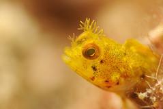 Amarillo amarillo (Pedro Buzo) Tags: select blenny amarillo yellow coral reef un underwaterphotograhy underwaterword underwaterworld sea caribbean divepuertorico divingpuertorico nikon ikelite nauticam
