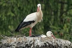 Storchenpaar (reipa59) Tags: nest brüten brut storchenpaar störche storch höhmühlbach rheinlandpfalz