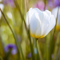 Love's taken a toll on me (Wade Brooks) Tags: 2017 dukegardens april flower floral white tulip
