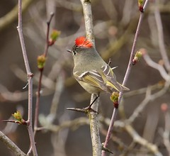 Ruby-crowned Kinglet (Eric_Z) Tags: rubycrownedkinglet red crown display coquitlam bccanada bird birdsofbritishcolumbia birdsofnorthamerica