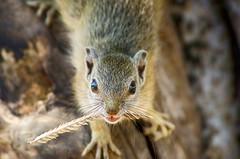 Tree Squirrel - Paraxerus cepapi (lyn.f) Tags: treesquirrel paraxeruscepapi chobenationalpark botswana