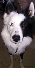 """Bandit ! Stop Staring at Me !! "" (John Neziol) Tags: kjphotography pointynoseddogs blueeyeddog blueeyes bordercollie blackwhite splitfacedbordercollie splitface pet portrait dog dognose animal"