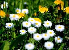 """___ nel prato! ___ """"explore"""" (erman_53fotoclik) Tags: nel prato fiori flora tarrasacchi margherite erba verde bianco giallo colori canon eos 500d erman53fotoclik"""