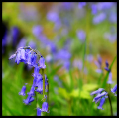 Bluebells (Laineyb93) Tags: countryside bokeh nikon nikond7000 purple lilac bluebell framed springwood whalley ribblevalley woodland woods orton blur green spring flowers grasses wildflowers