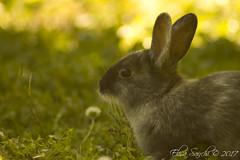 Sunset Bunny (Elisa Sanchi) Tags: bunny sunset coniglio tramonto rabbit park parco bucci faenza italia italy cute carino cutie