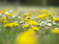 GELB UND WEIS _4155639 (hans 1960) Tags: flower fleur daisies dandelion löwenzahn outdoor gras natur nature gelb yellow weis white farben colours spring printemps frühling primavera germany