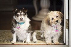Magnificent mutts (dog ma) Tags: bellita chiterr mix penny yorkiepoo puppy dog ma magnificent mutts mixbreed dogs nikon d750 nikkor 105mm jodytrappephotography cute adorable twodogs