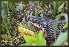 The beginning (WanaM3) Tags: wanam3 nikon d7100 nikond7100 texas houston elfrancoleepark park outdooors nature wildlife pond naturesway battle watersnake bullfrog