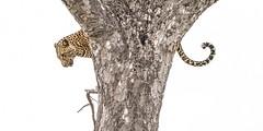 Xiviti - alternate crop (CMich5) Tags: africa travel animal animals fauna southafrica mammal nikon wildlife leopard braveheart mpumalanga kruger d600 thetimbavati xiviti