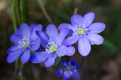 Hepatica nobilis (talaakso) Tags: flower blomma hepaticanobilis blåveis kukka sinivuokko blåsippa commonhepatica terolaakso talaakso