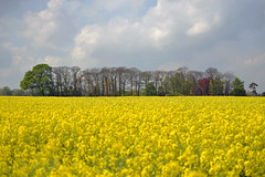 TREAD SOFT AMIDST THE FIELD OF YELLOW (DESPITE STRAIGHT LINES) Tags: wood uk morning trees england sky cloud sunlight tree nature beauty field yellow clouds photography countryside photo kent am spring woods woodlands nikon flickr raw day peace image cloudy farm peaceful tranquility calm crop serenity ethereal getty serene farmer naturalbeauty tranquil mothernature cloudscape manfrotto d800 paulwilliams rapeseedcrop nikon2470mm nikongps nikkor2470mmf28 nikond800 filedofgold camerpark nikongp1 despitestraightlines ilobsterit manfrotto057tripod tranquilescence camerfieldwoodmeopham camerfieldwoodkent theenglishcountrysidecamerparkmeopham afieldofrapeseed